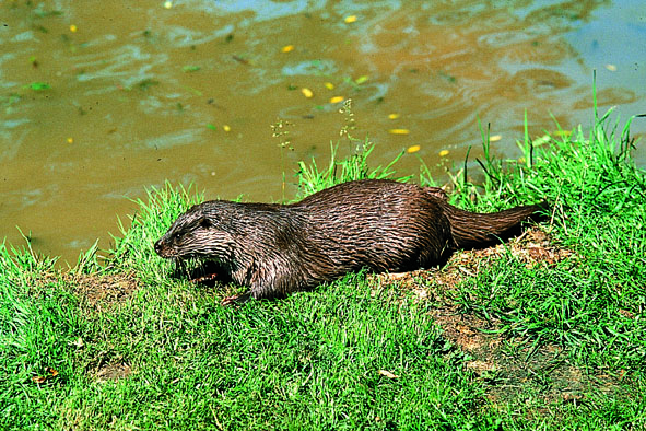 Loutre d'Europe-C.Bouchardy